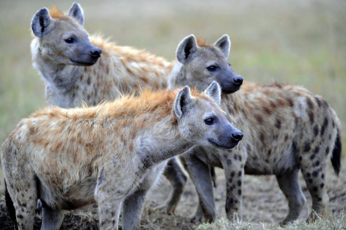 Free Hyena high quality background ID:239229 for hd 1152x768 desktop