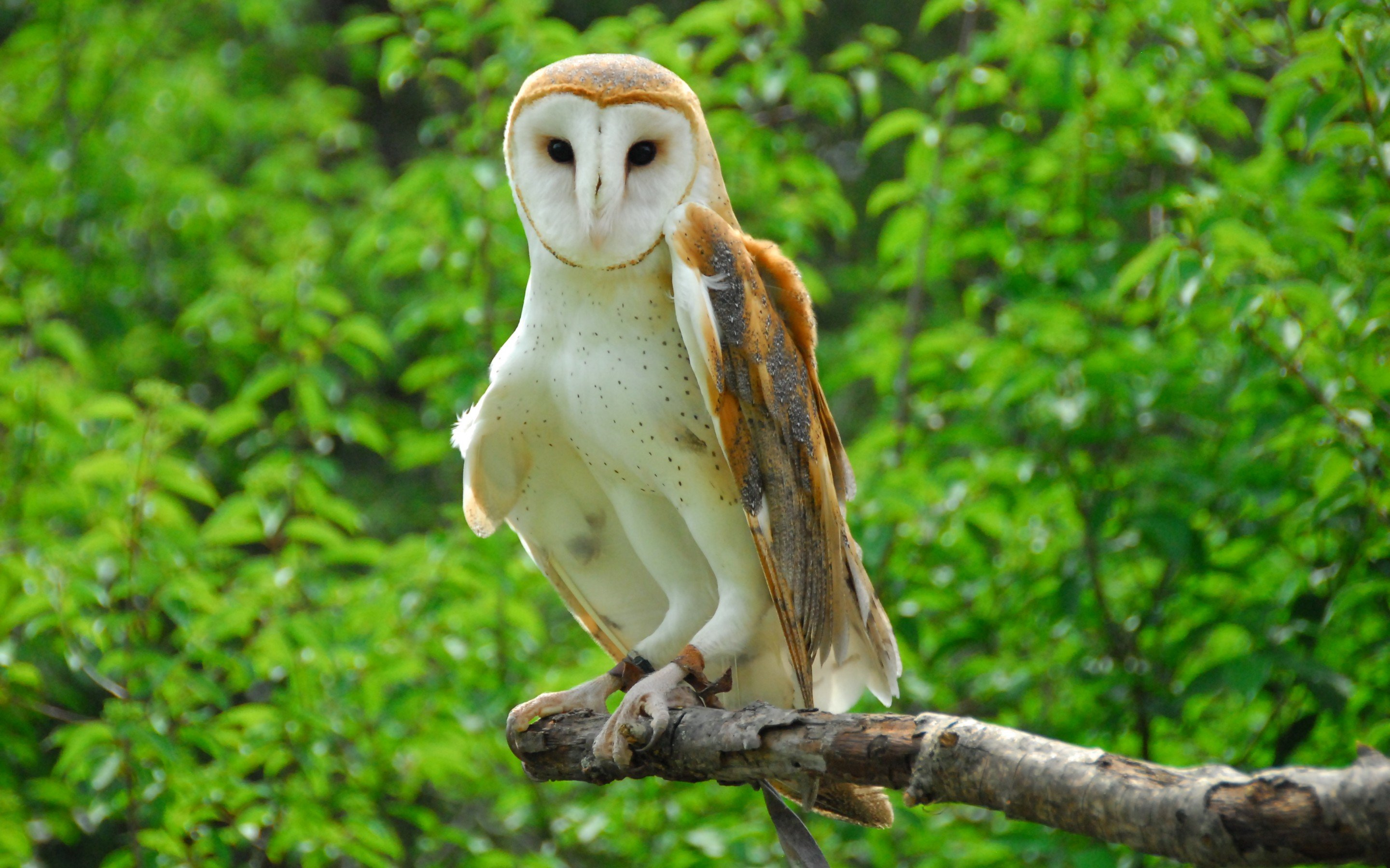 Awesome Barn Owl free wallpaper ID:81543 for hd 2880x1800 desktop