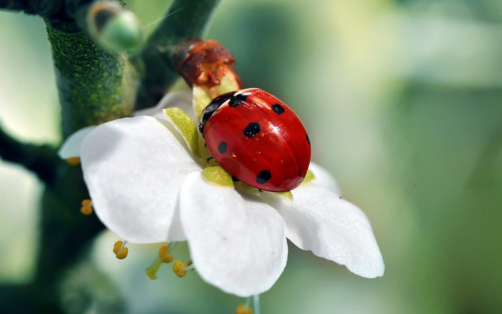 High resolution Ladybug hd 1680x1050 wallpaper ID:270553 for PC