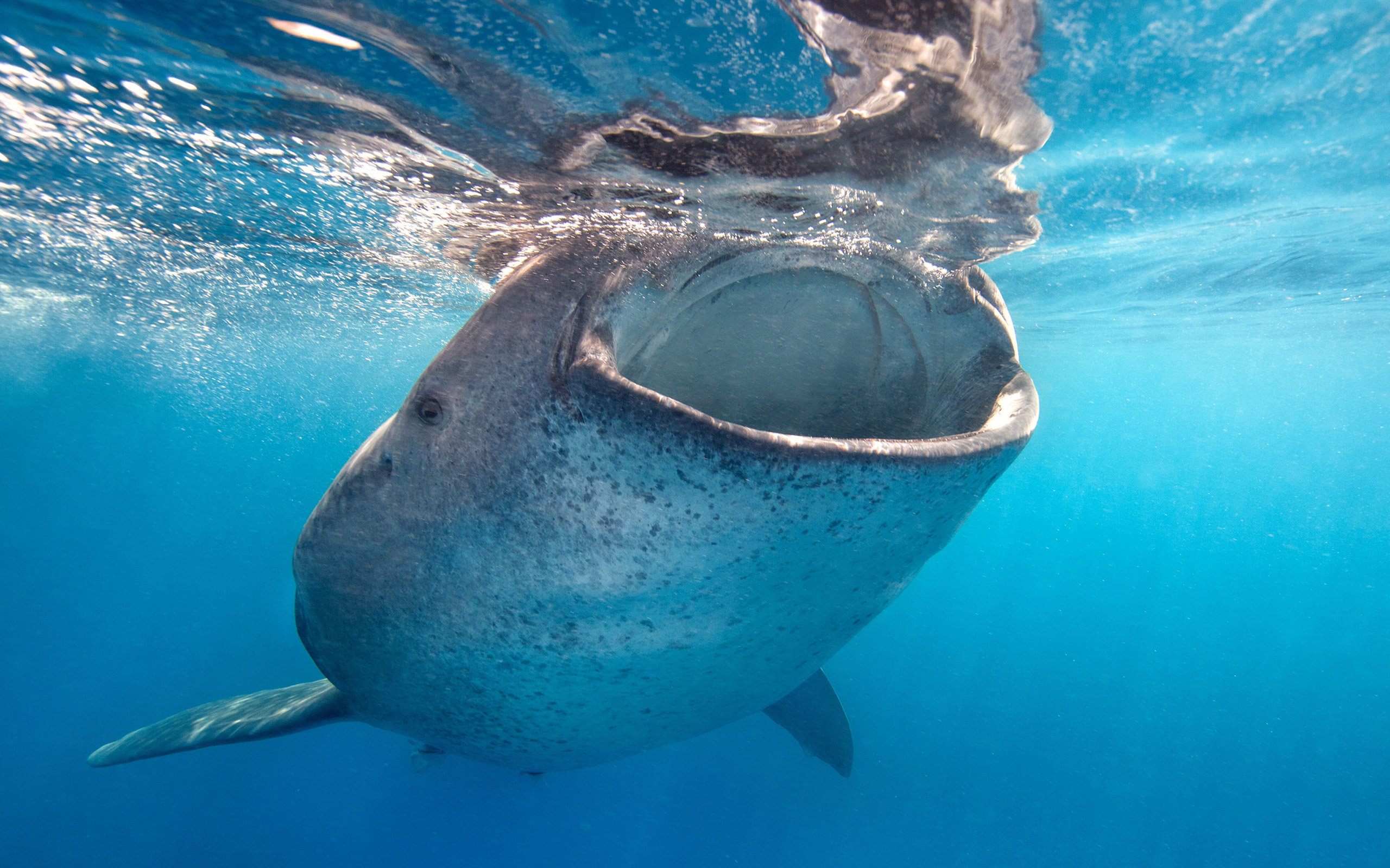 Free Whale Shark high quality background ID:134823 for hd 2560x1600 desktop