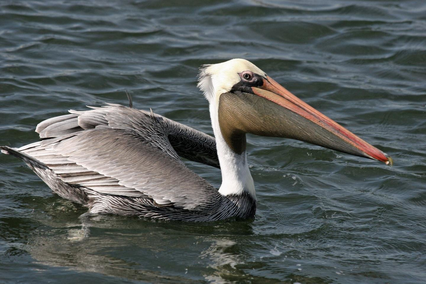 Download hd 1440x960 Pelican desktop background ID:189539 for free