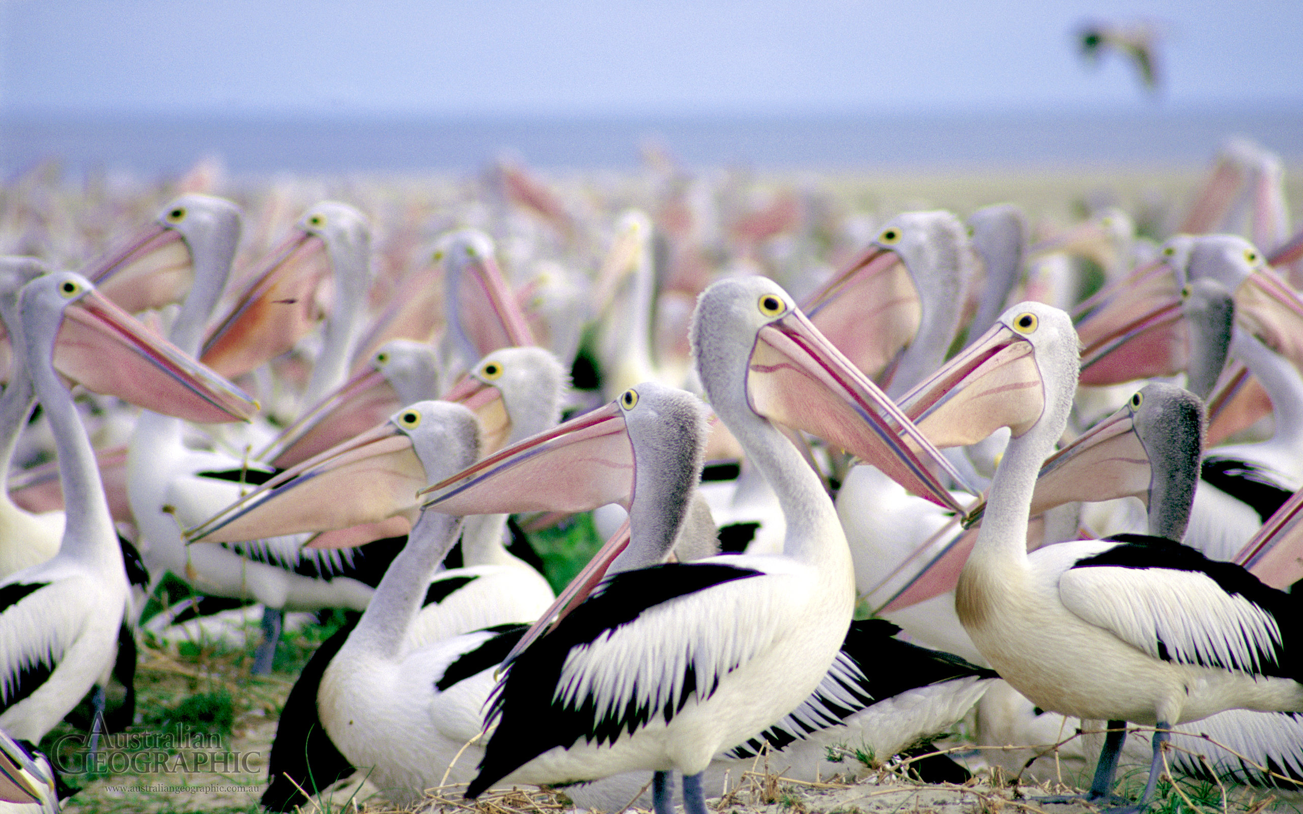 High resolution Pelican hd 2560x1600 wallpaper ID:189528 for desktop