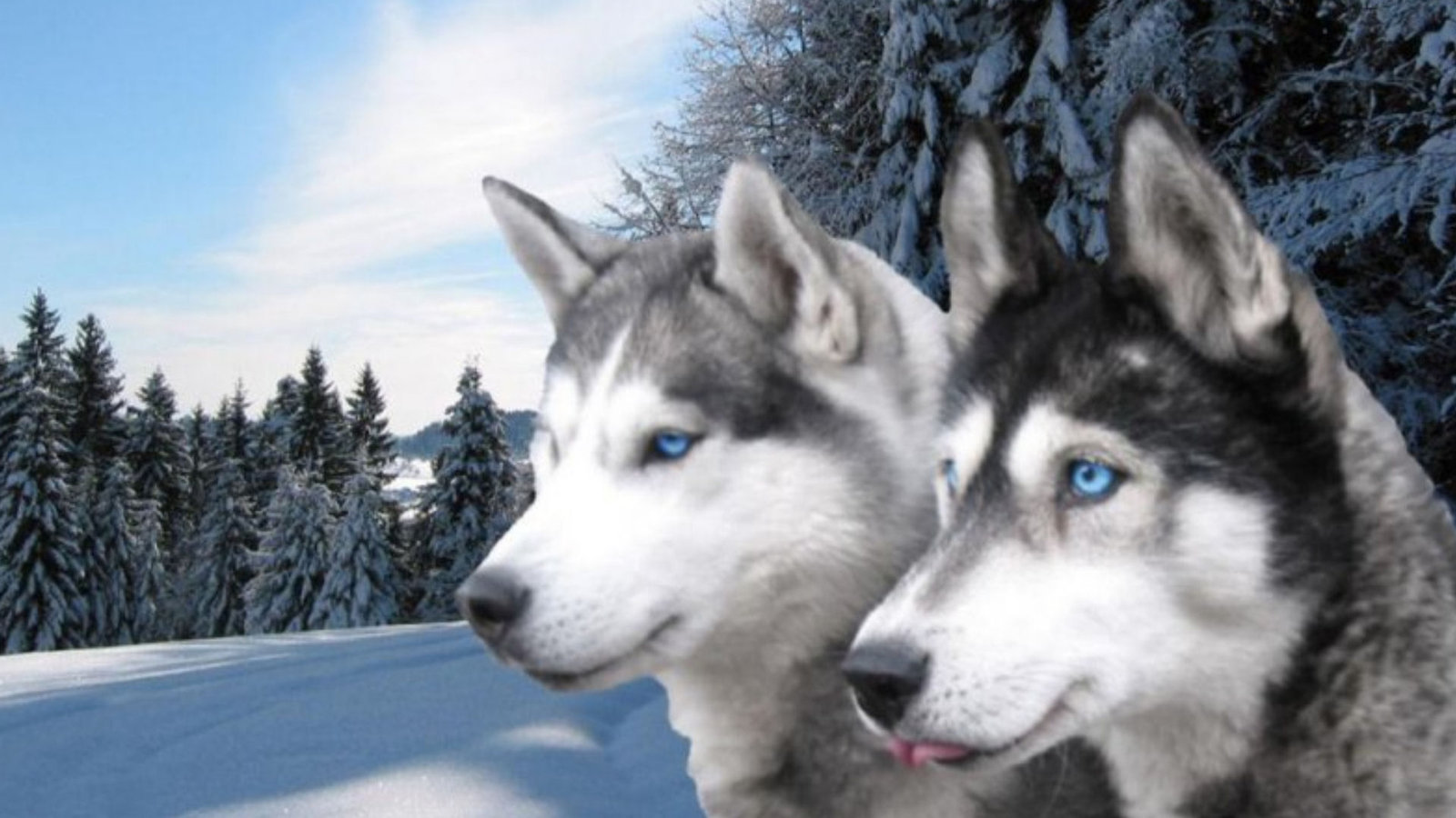 Best Siberian Husky wallpaper ID:155229 for High Resolution hd 1600x900 computer