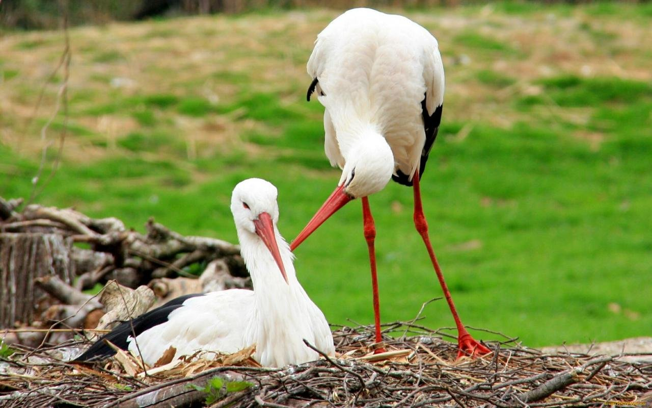 Download hd 1280x800 White Stork PC wallpaper ID:9595 for free