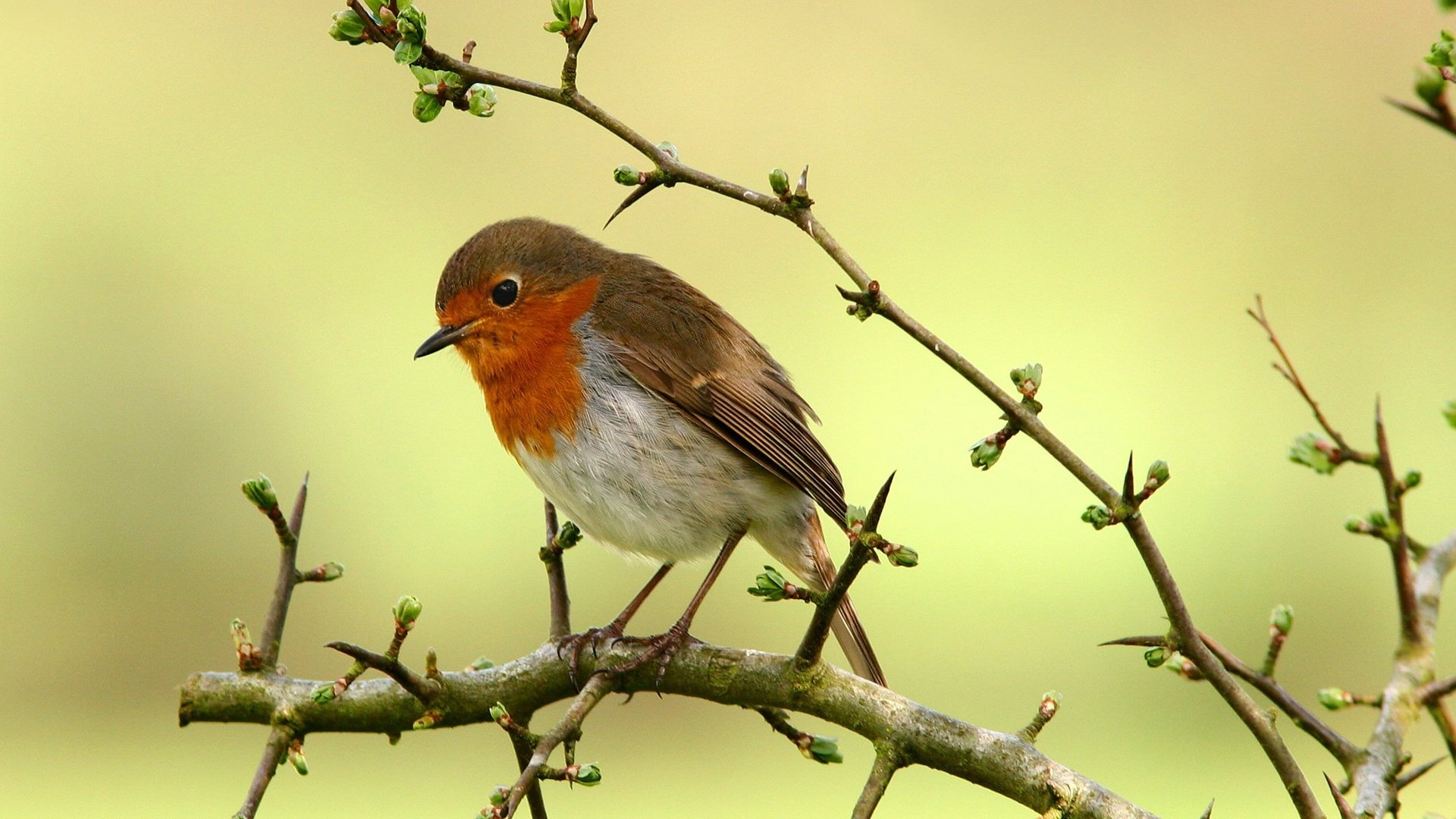 Best Robin bird background ID:360159 for High Resolution full hd 1080p computer
