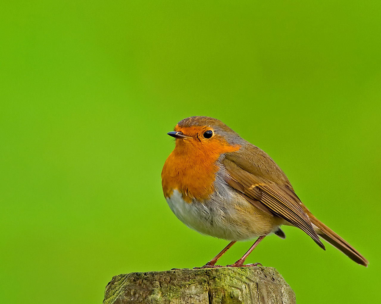 High resolution Robin bird hd 1280x1024 background ID:360142 for desktop