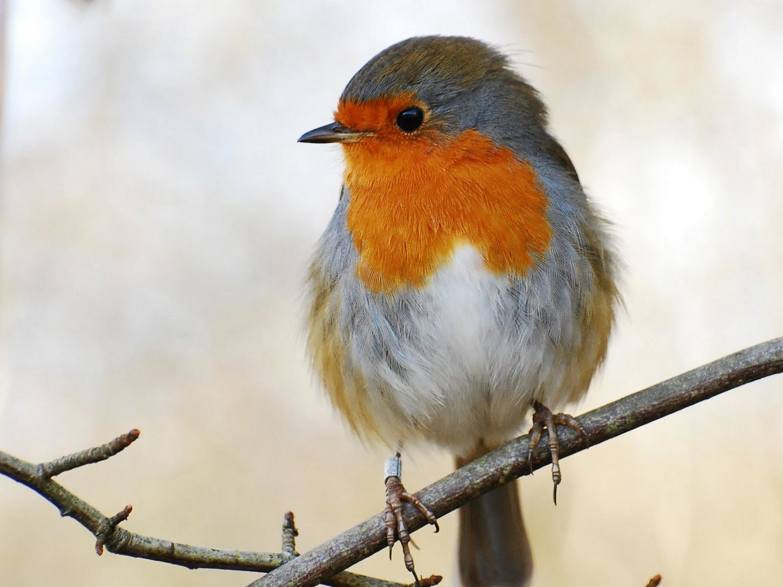 Free Robin bird high quality background ID:360163 for hd 1600x1200 desktop