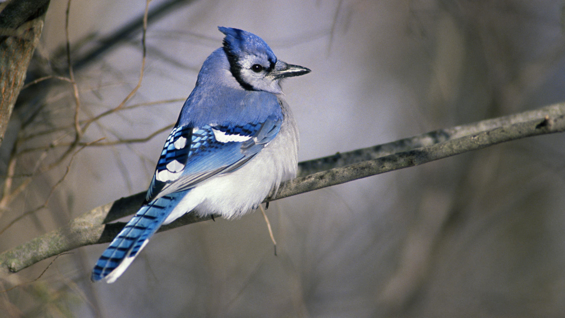 Free download Blue Jay wallpaper ID:158375 1080p for PC