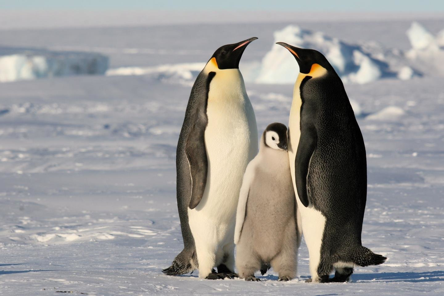 Free download Emperor Penguin wallpaper ID:47918 hd 1440x960 for PC