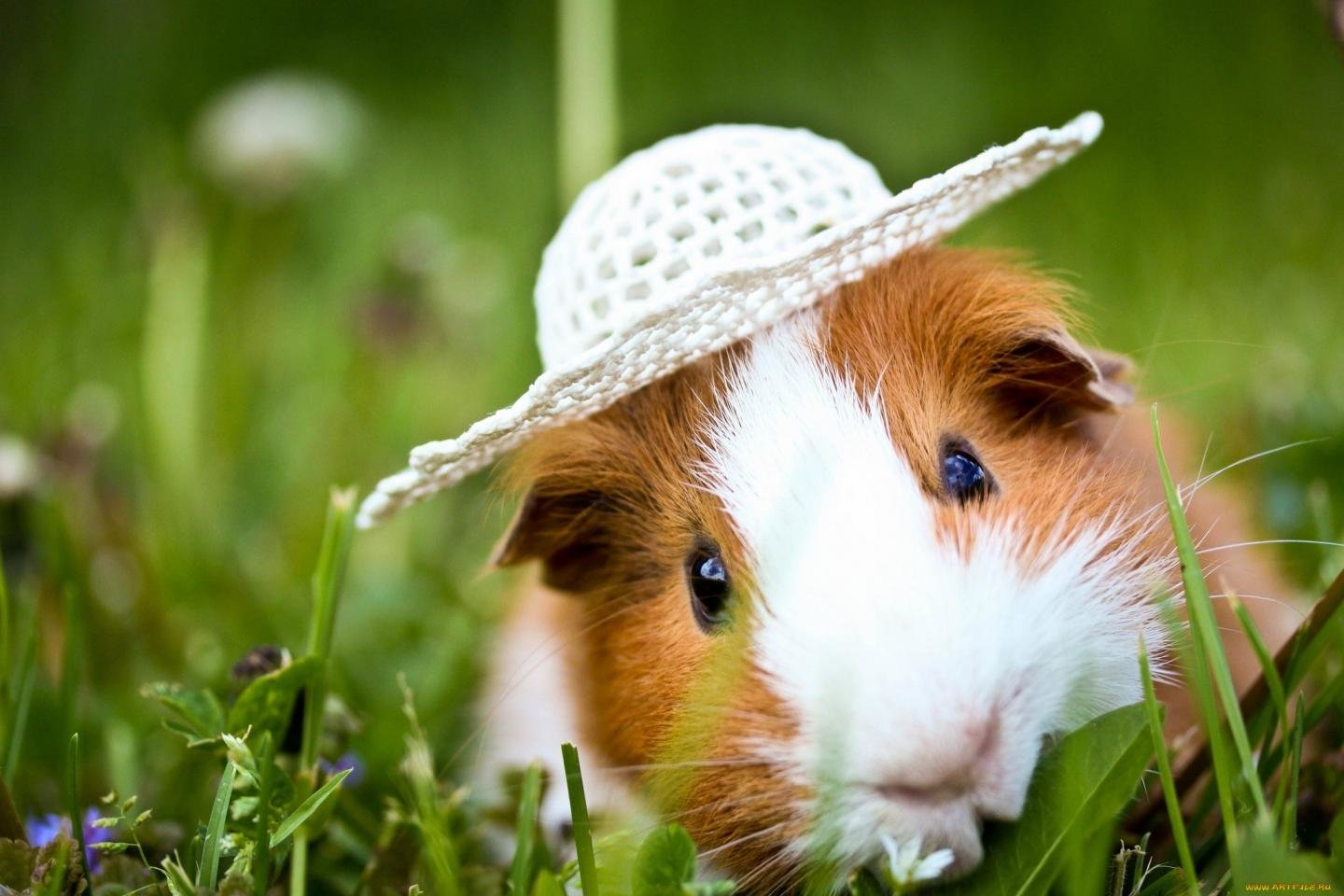 Awesome Guinea Pig free background ID:270978 for hd 1440x960 desktop