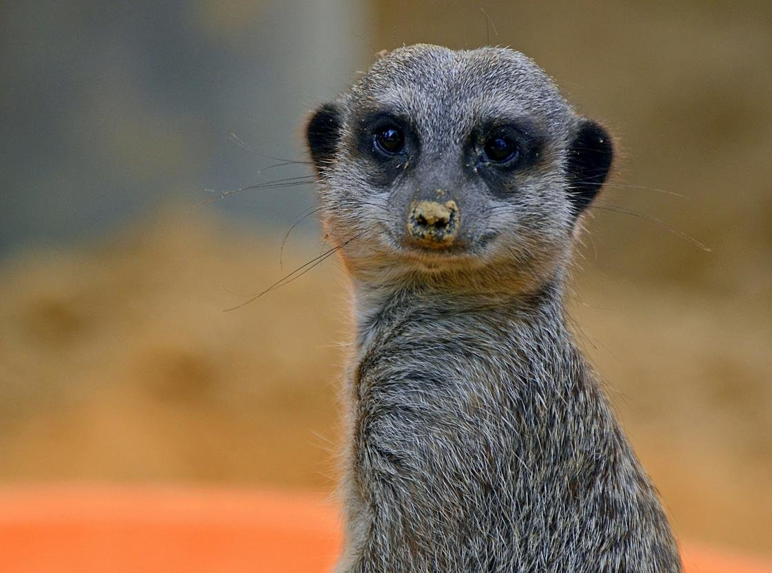 Free Meerkat high quality wallpaper ID:164583 for hd 1120x832 computer