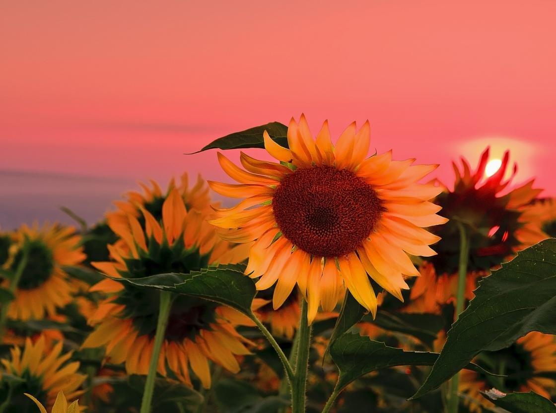 High Resolution Sunflower Hd 1120x832 Wallpaper ID