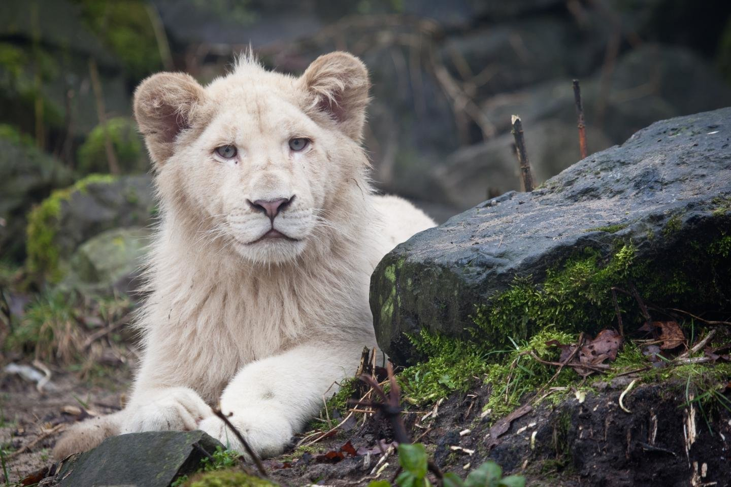 High resolution White Lion hd 1440x960 wallpaper ID:237713 for PC