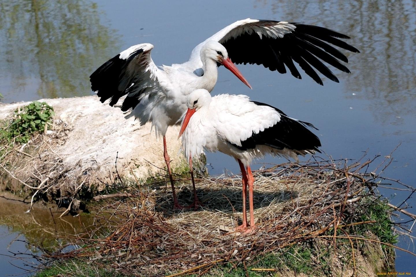 Free download White Stork wallpaper ID:9627 hd 1440x960 for PC