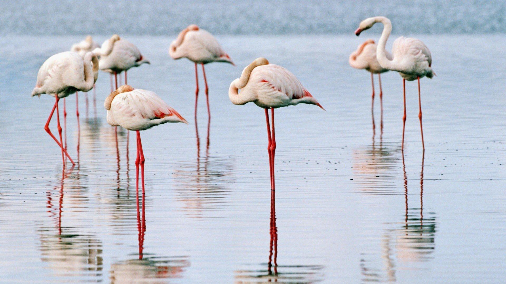 Free Download Flamingo Wallpaper Id66667 Full Hd 1920x1080