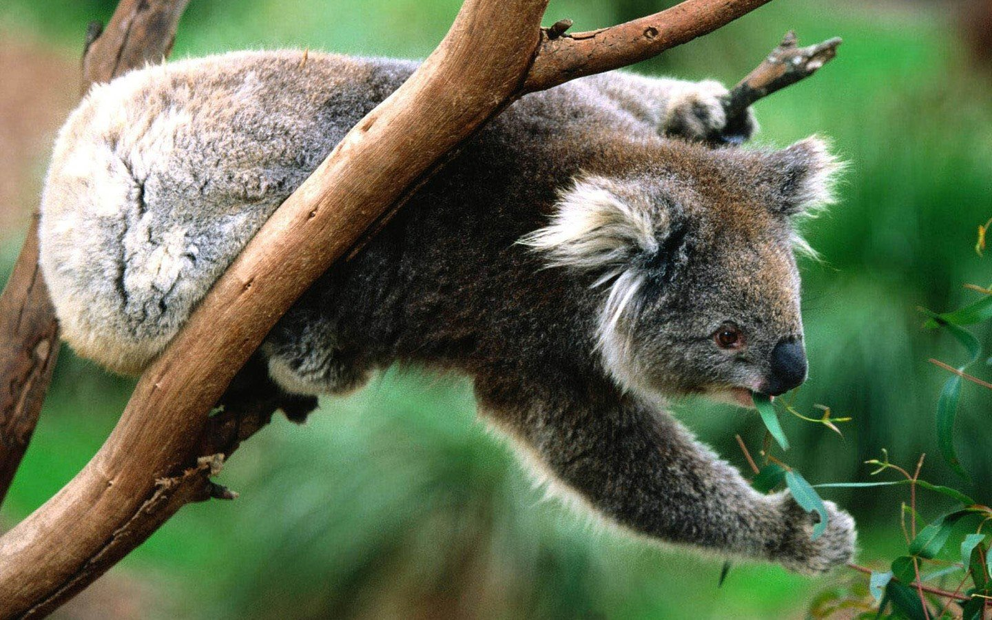 Free Koala high quality wallpaper ID:74260 for hd 1440x900 desktop