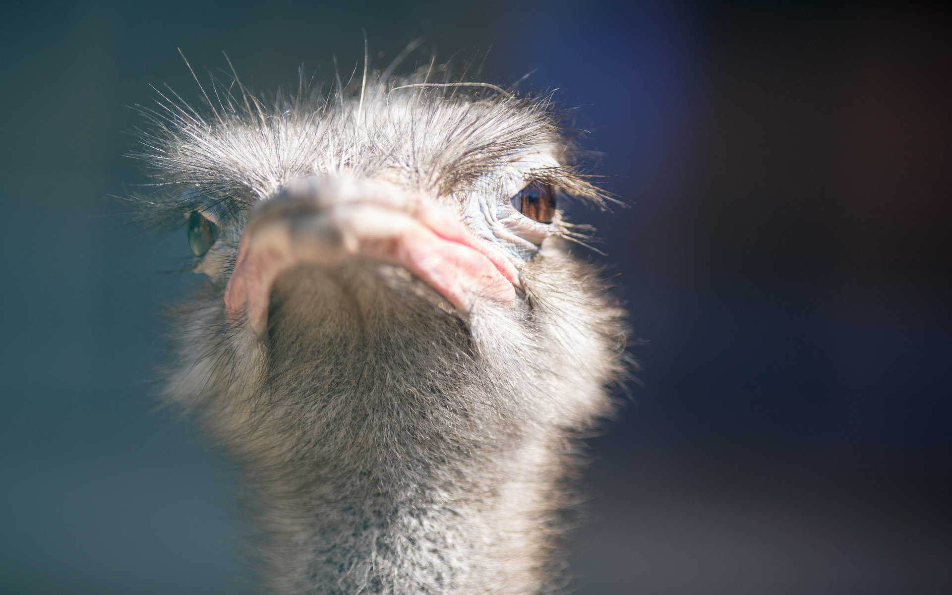 Free Ostrich high quality wallpaper ID:290157 for hd 1920x1200 computer