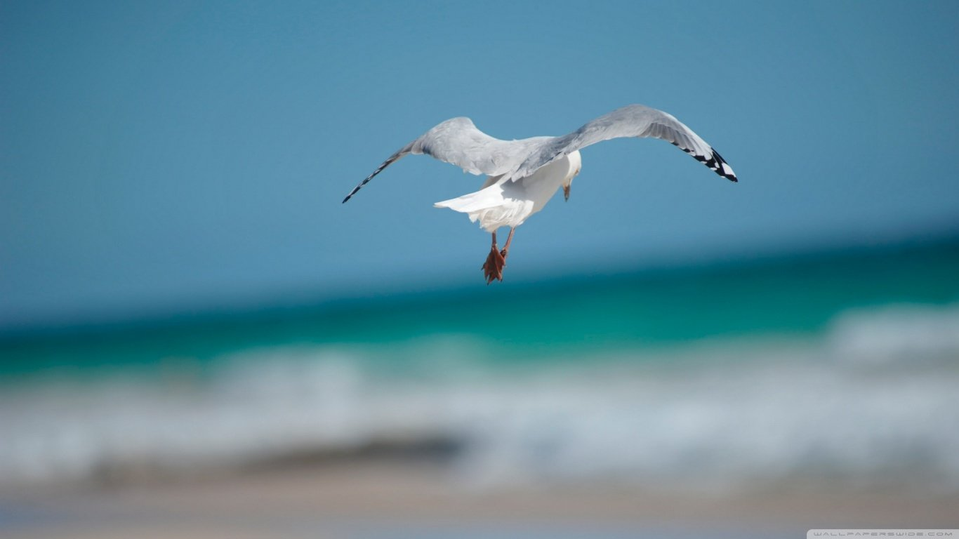 Awesome Seagull free wallpaper ID:66966 for 1366x768 laptop desktop