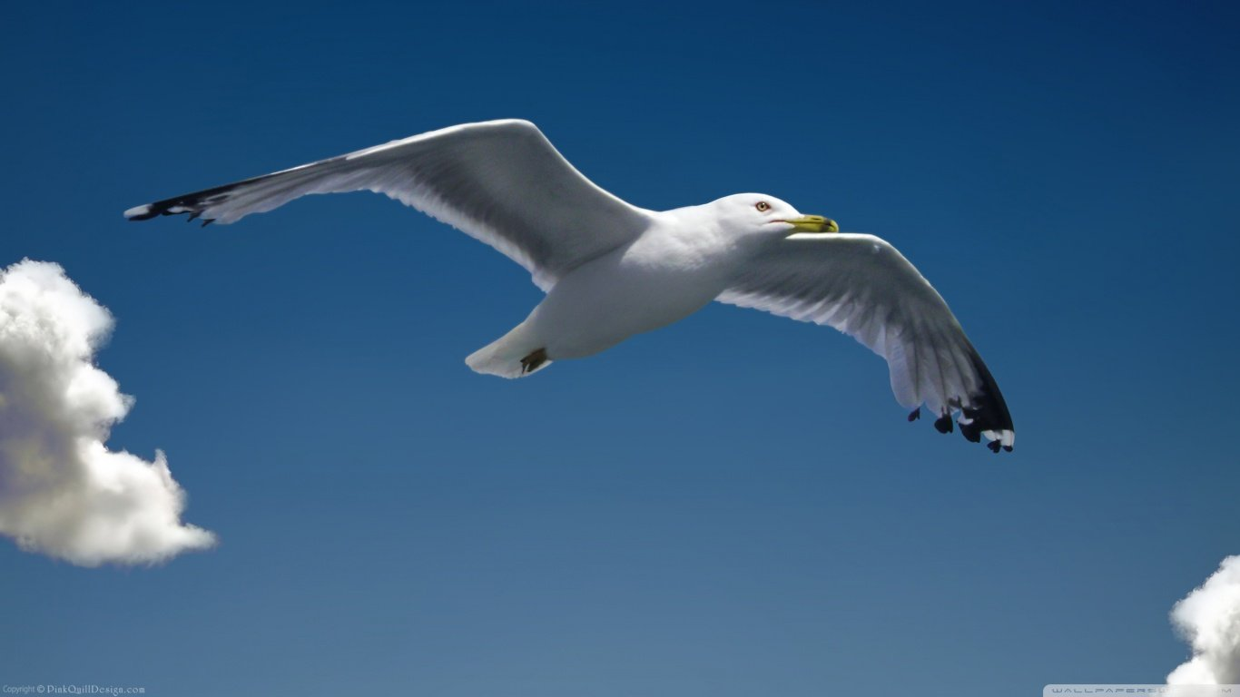 Free Seagull high quality wallpaper ID:66847 for laptop computer