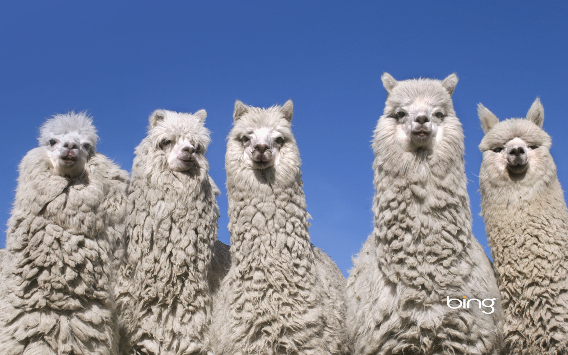 High resolution Alpaca hd 1920x1200 wallpaper ID:126990 for computer