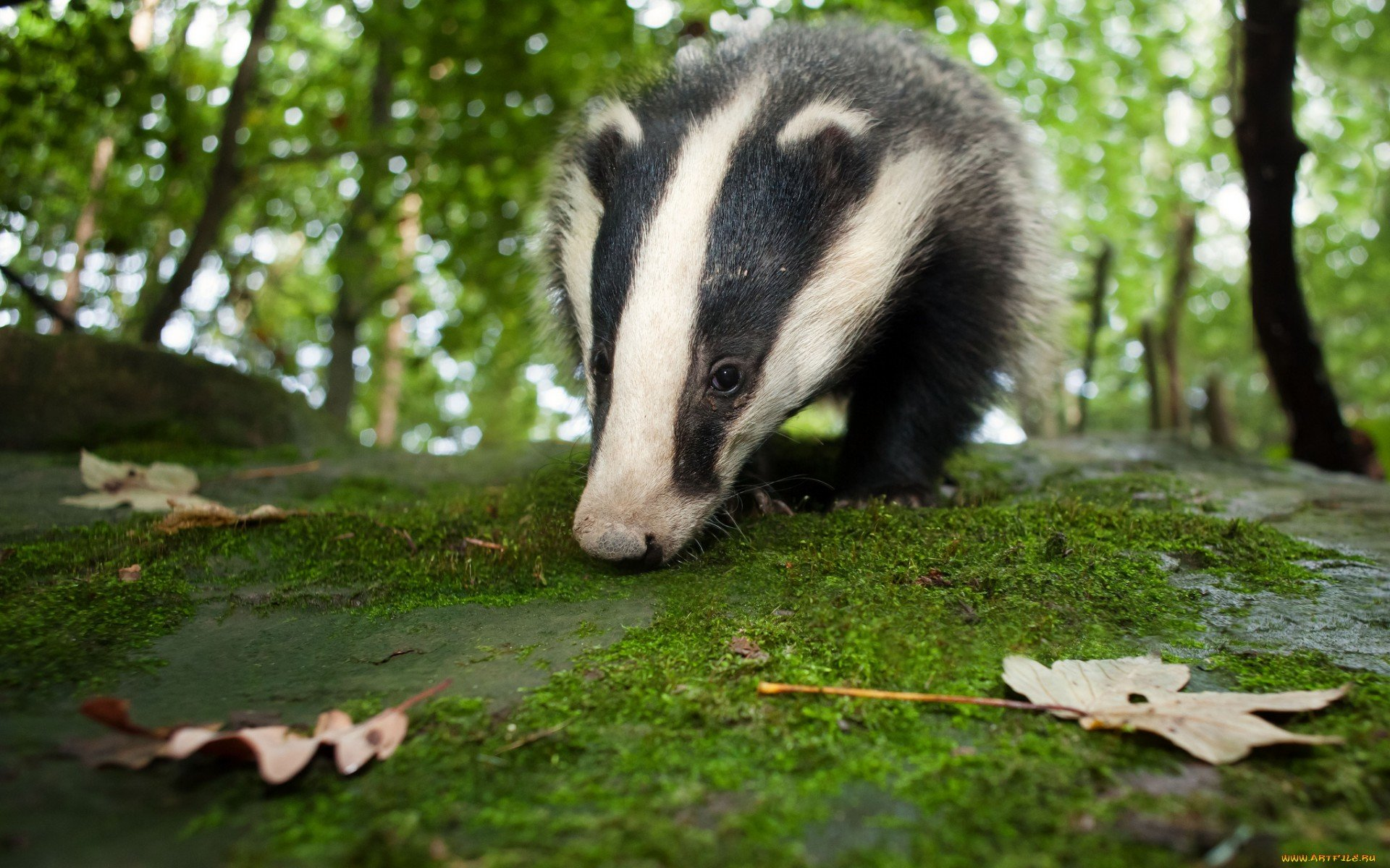 Free download Badger background ID:142314 hd 1920x1200 for PC