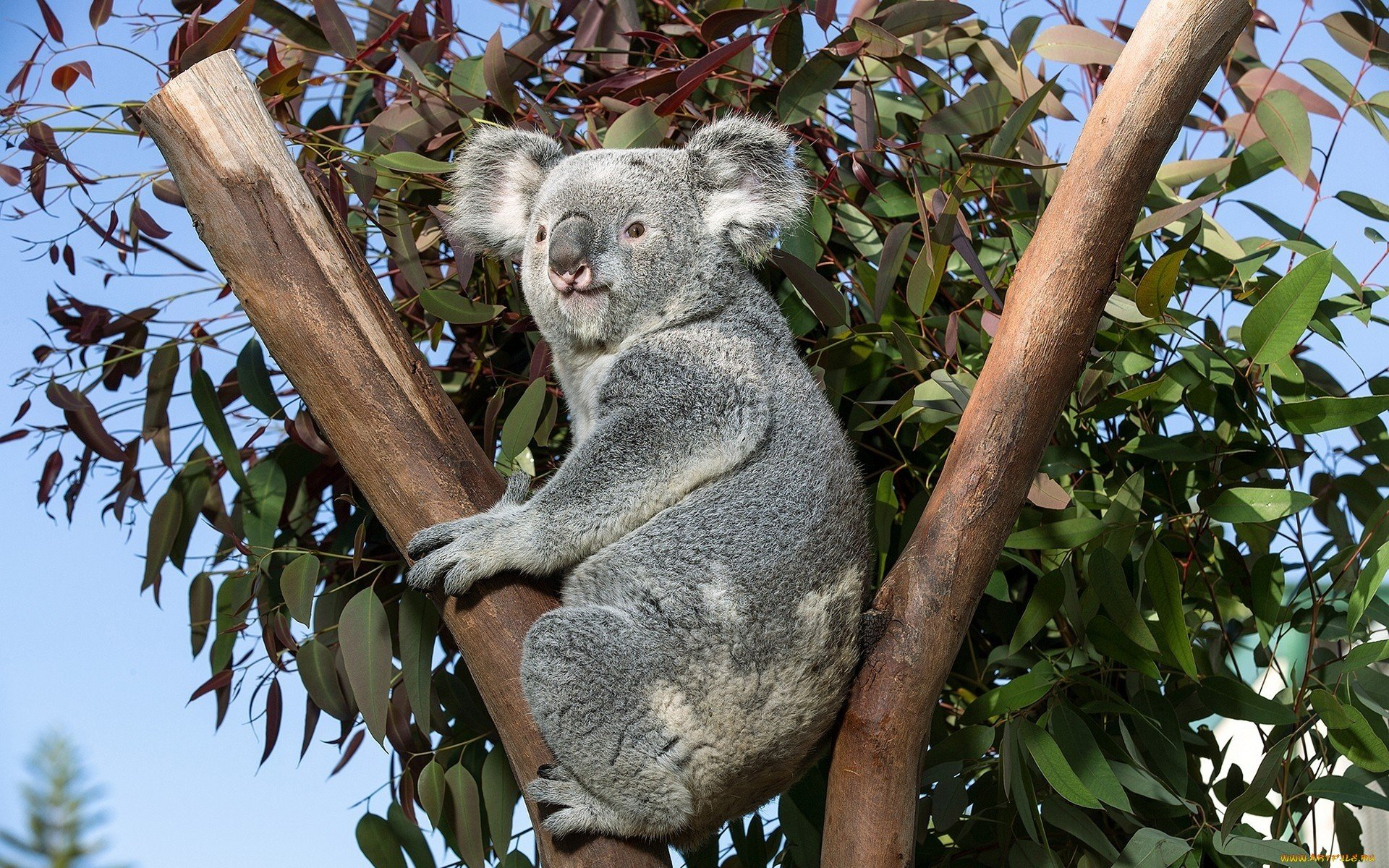 Free Koala high quality background ID:74247 for hd 1920x1200 desktop