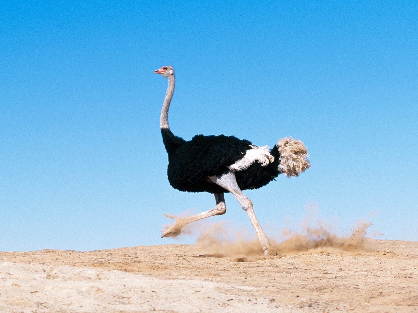 High resolution Ostrich hd 1600x1200 wallpaper ID:290149 for PC