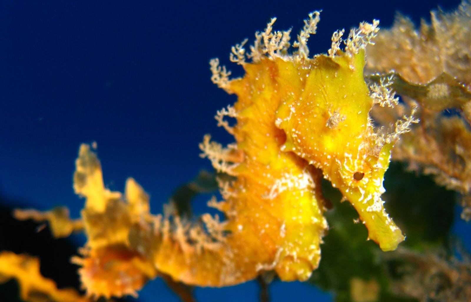 High resolution Seahorse hd 1600x1024 wallpaper ID:135830 for desktop