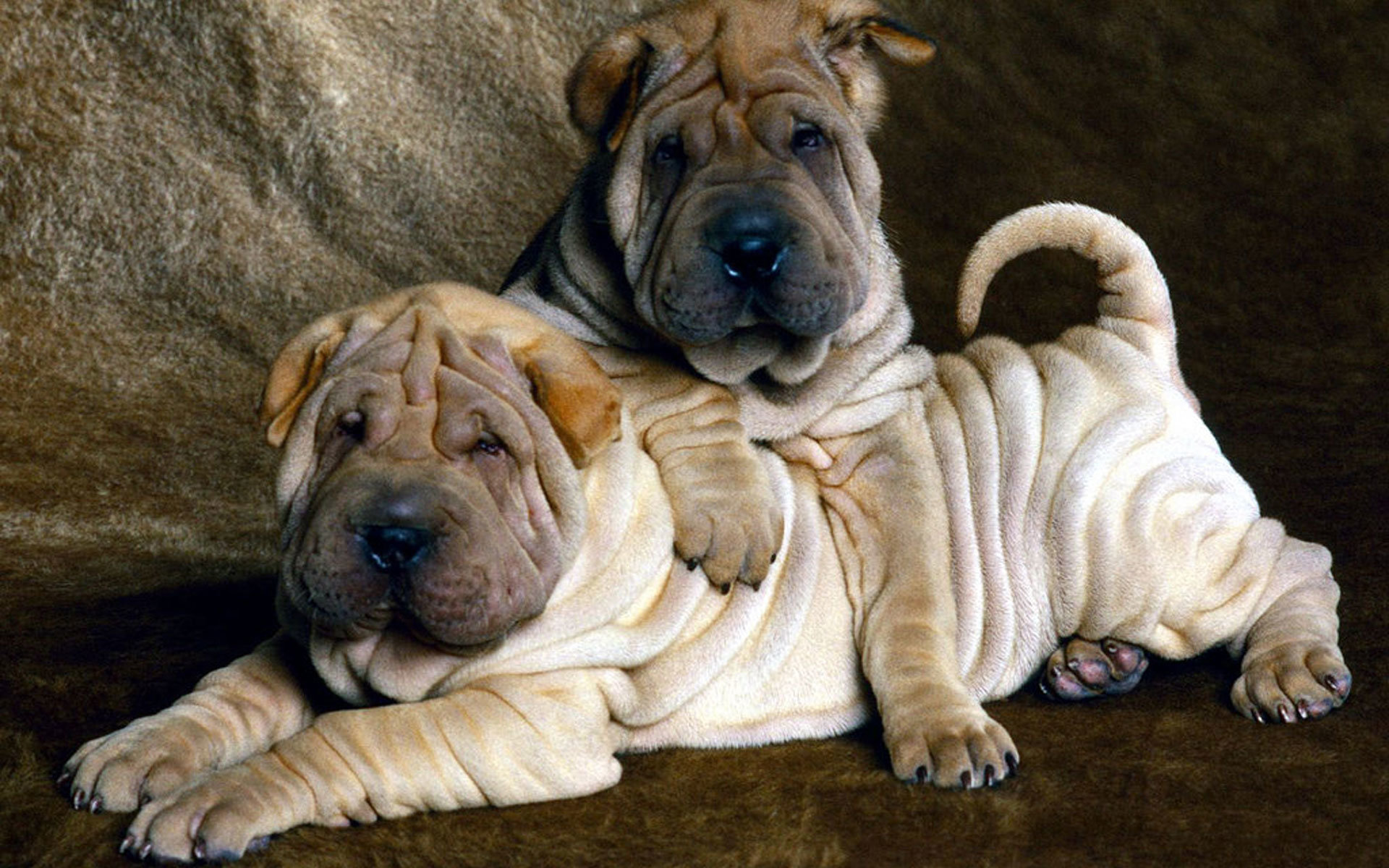 Free download Shar Pei wallpaper ID:376288 hd 1920x1200 for computer