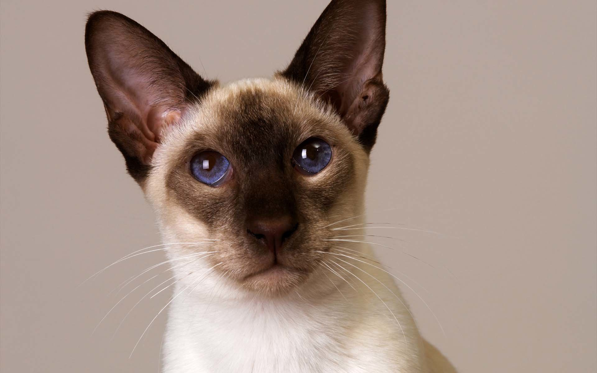High resolution Siamese Cat hd 1920x1200 background ID:53382 for computer
