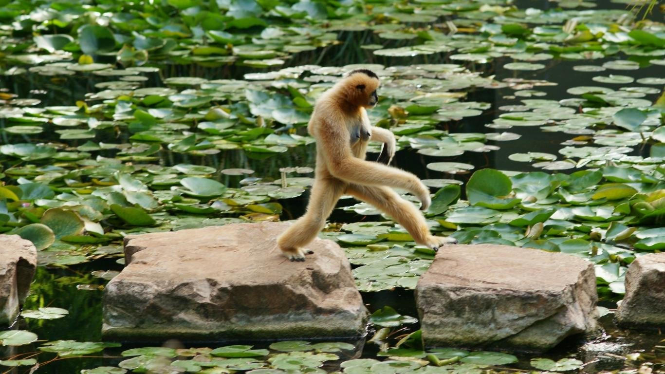 Download hd 1366x768 Monkey PC background ID:127972 for free