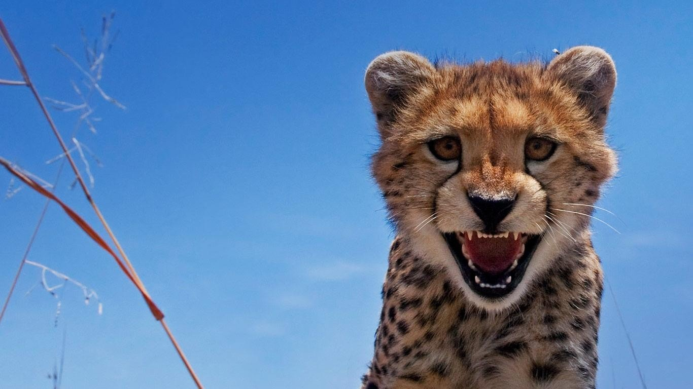 Free Cheetah high quality wallpaper ID:161745 for hd 1366x768 computer