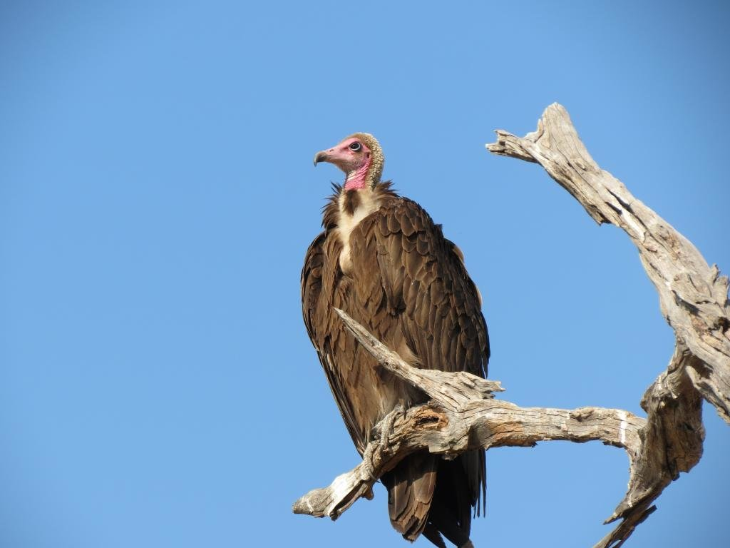 Free download Vulture background ID:82938 hd 1024x768 for desktop