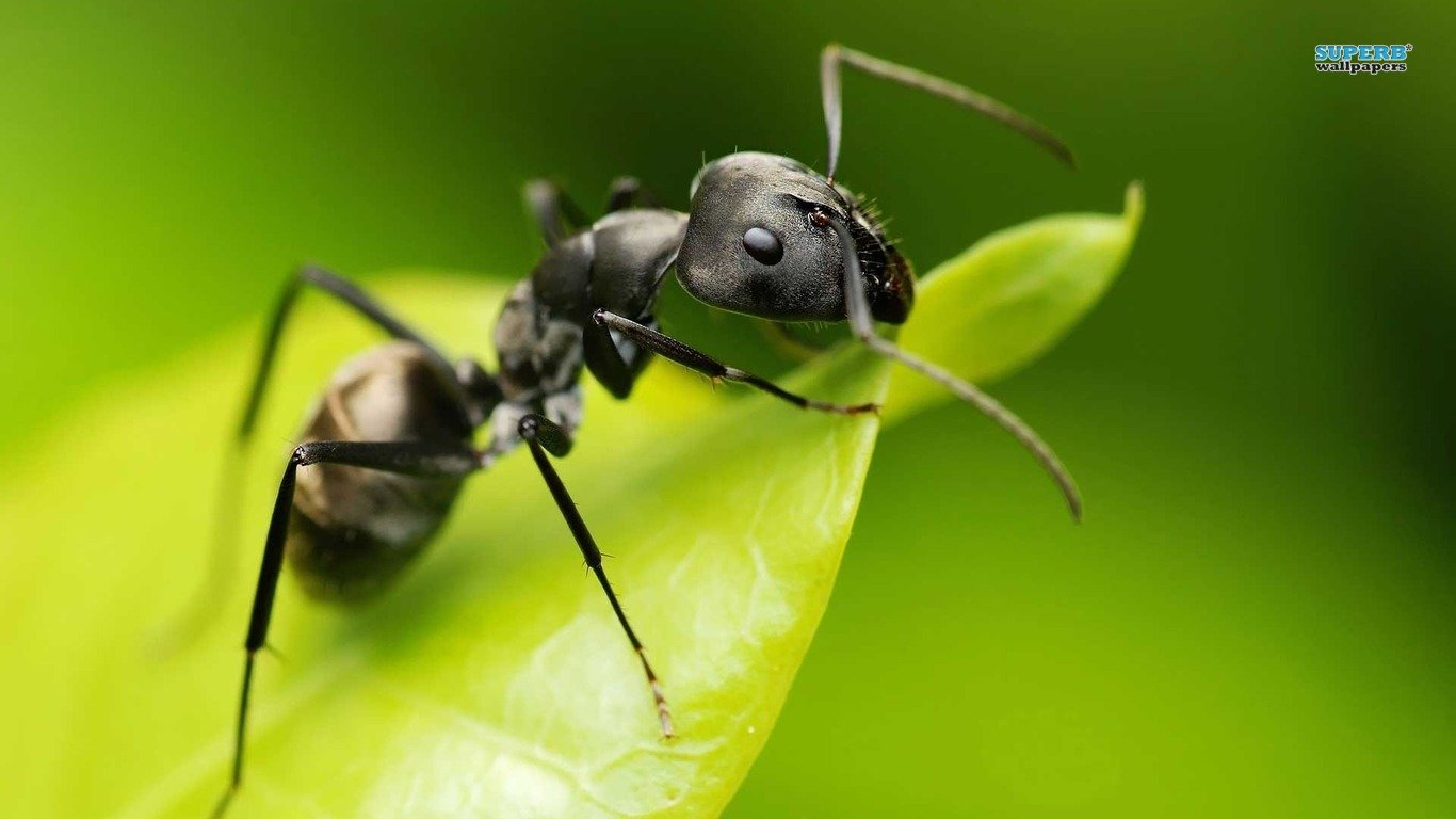 Free download Ant wallpaper ID:401323 hd 1366x768 for desktop