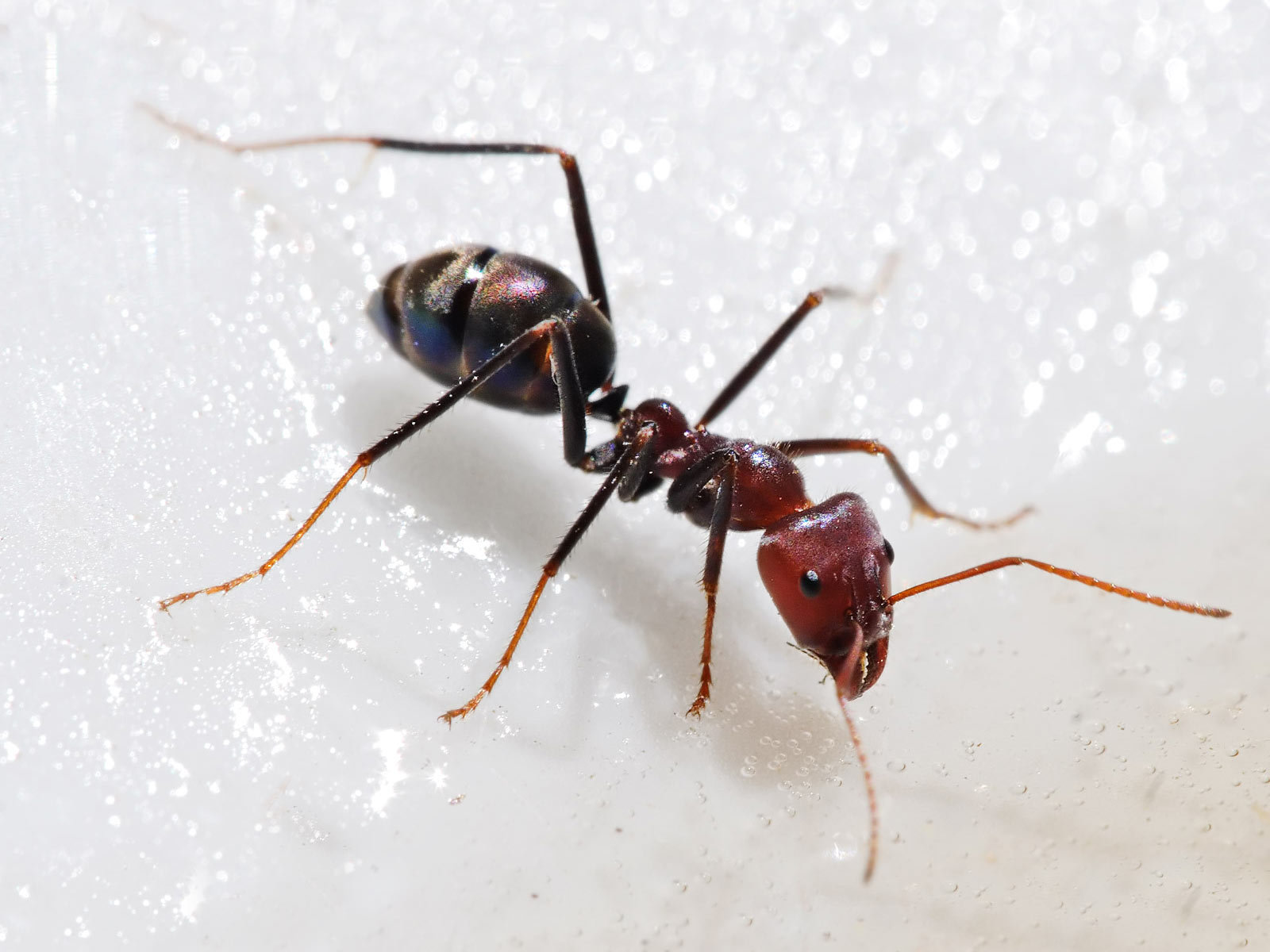 Free download Ant wallpaper ID:401335 hd 1600x1200 for computer