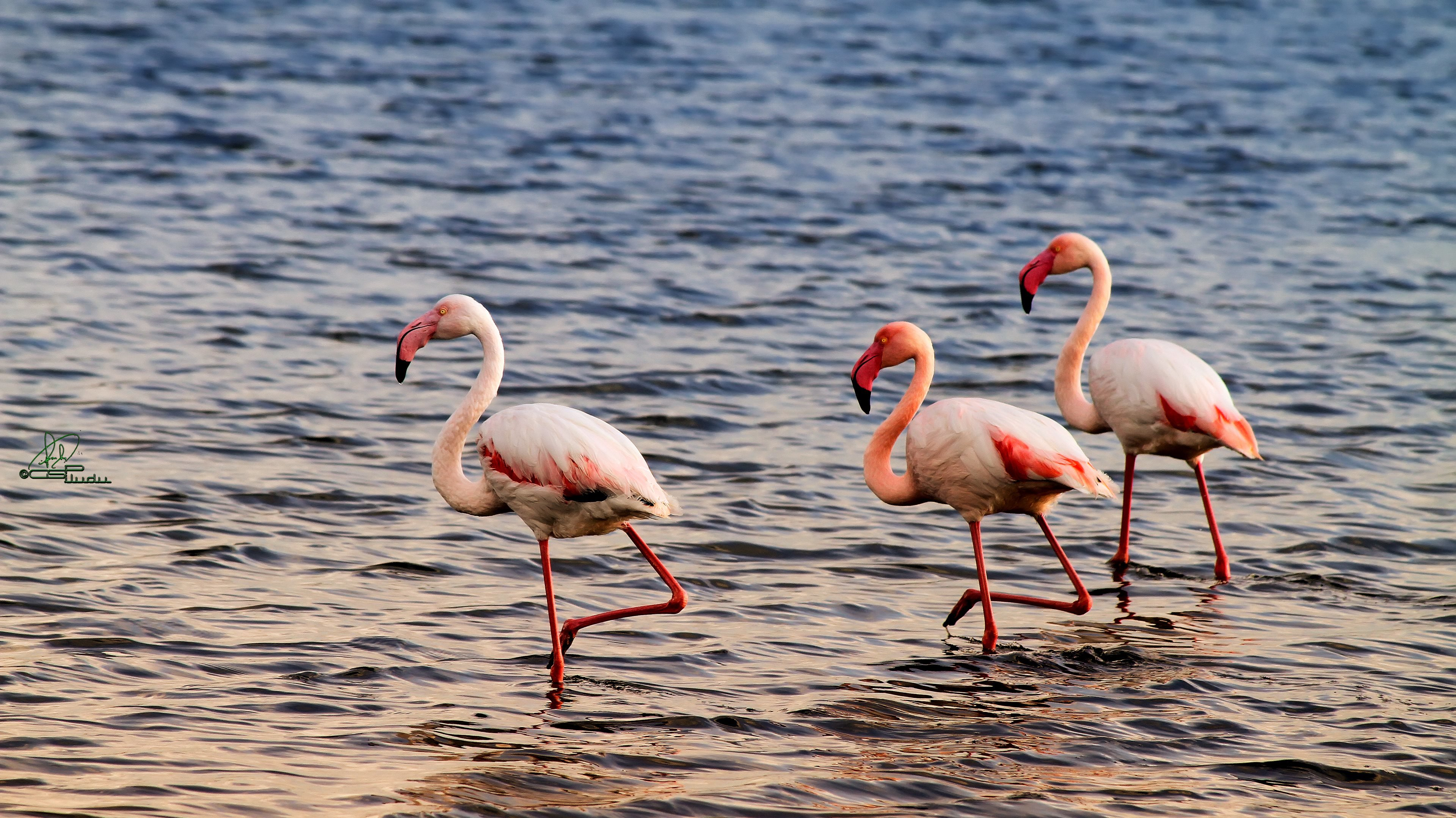Download 4k Flamingo desktop background ID:66625 for free