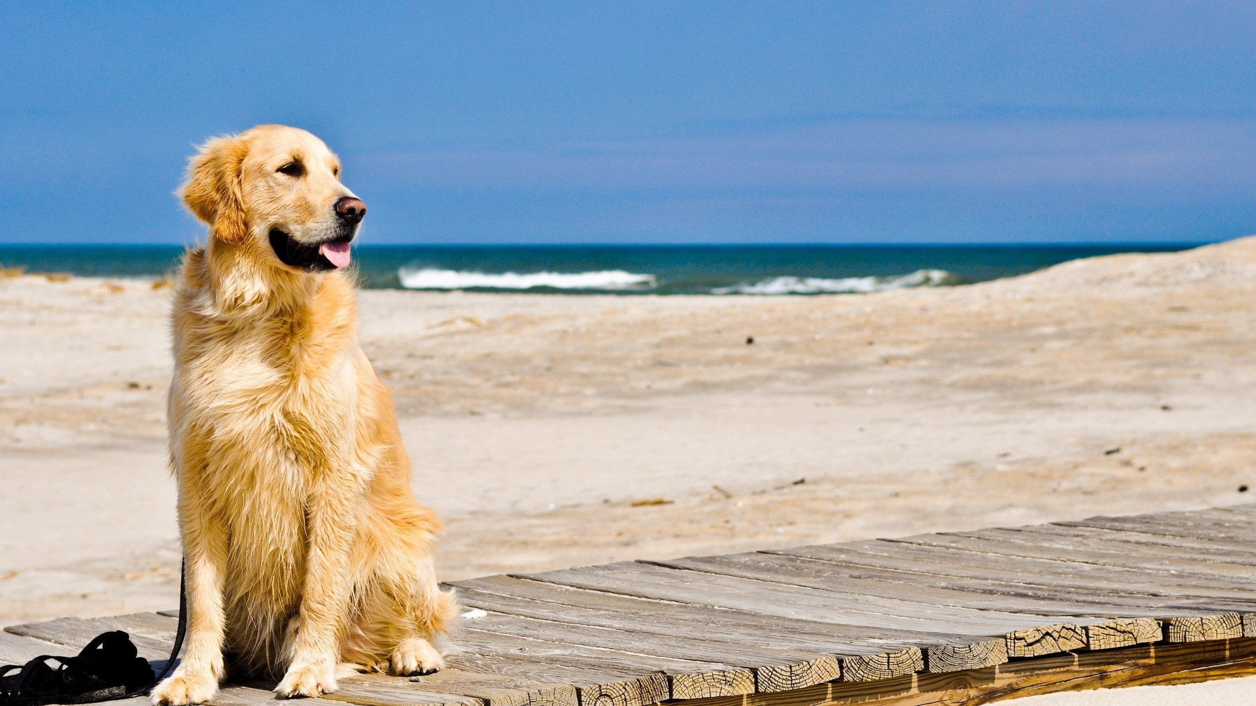 Free download Golden Retriever wallpaper ID:211763 hd 2560x1440 for PC
