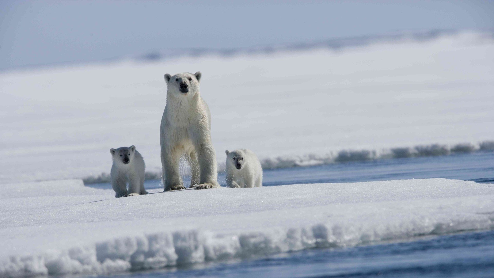 Best Polar Bear background ID:359963 for High Resolution 1080p desktop