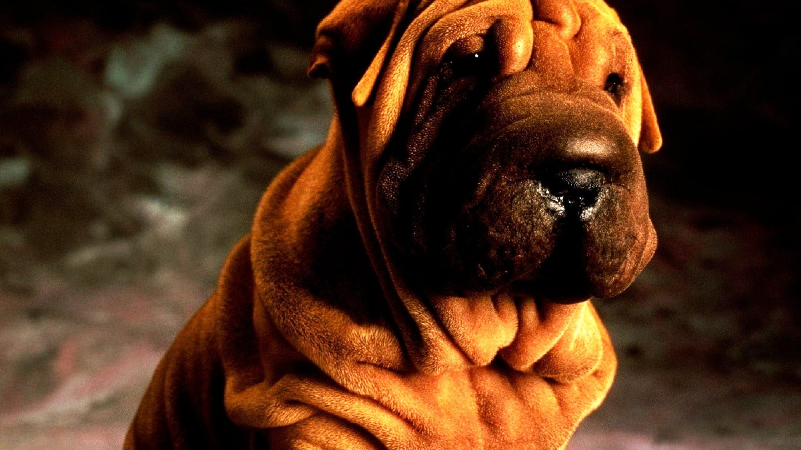 Free Shar Pei high quality background ID:376277 for hd 2560x1440 computer