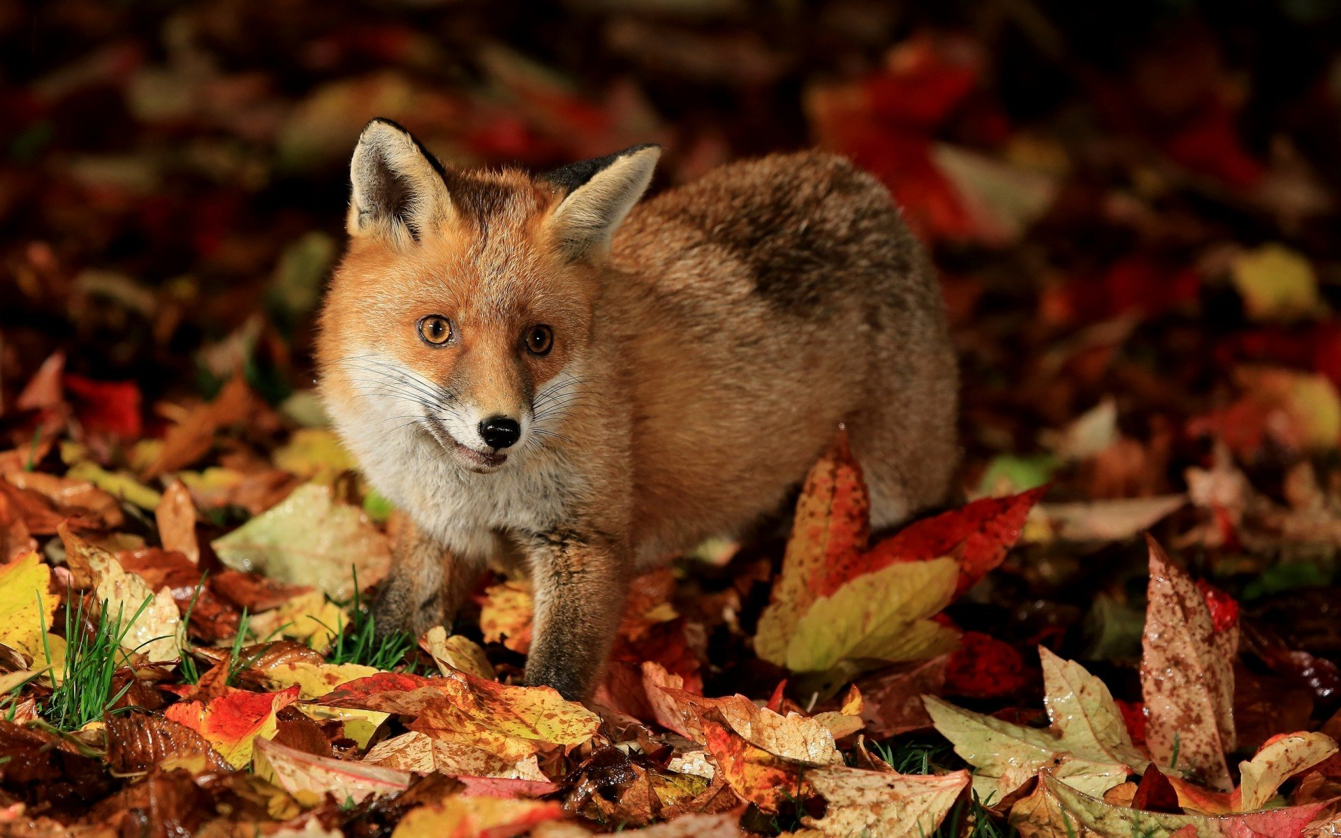 Awesome Fox free background ID:58547 for hd 1920x1200 desktop