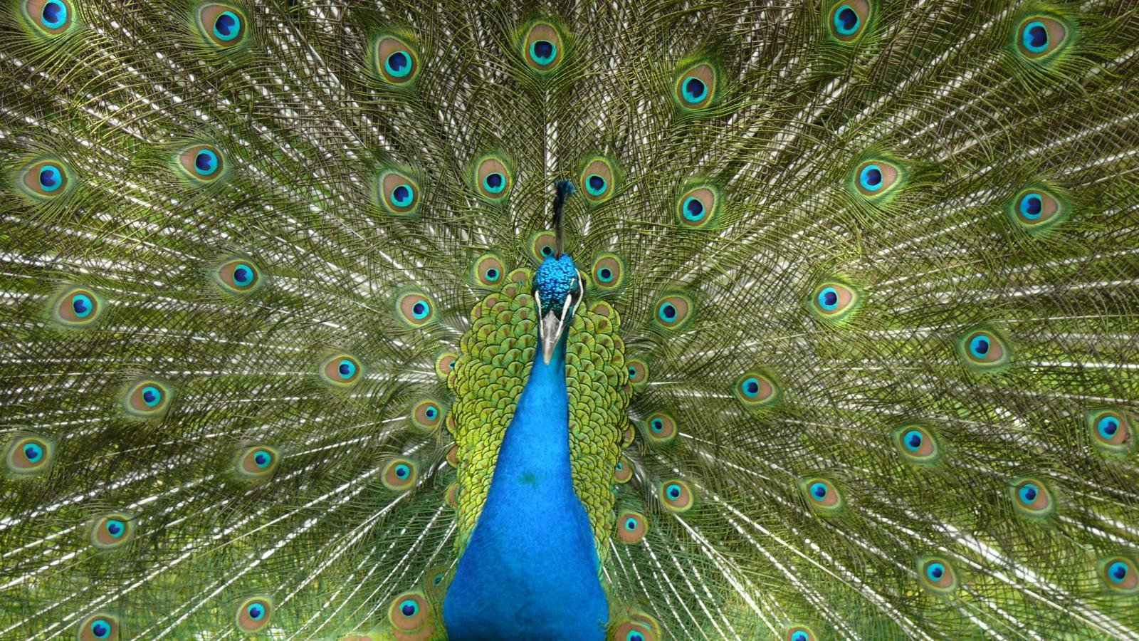 Free download Peacock wallpaper ID:151798 hd 1600x900 for desktop