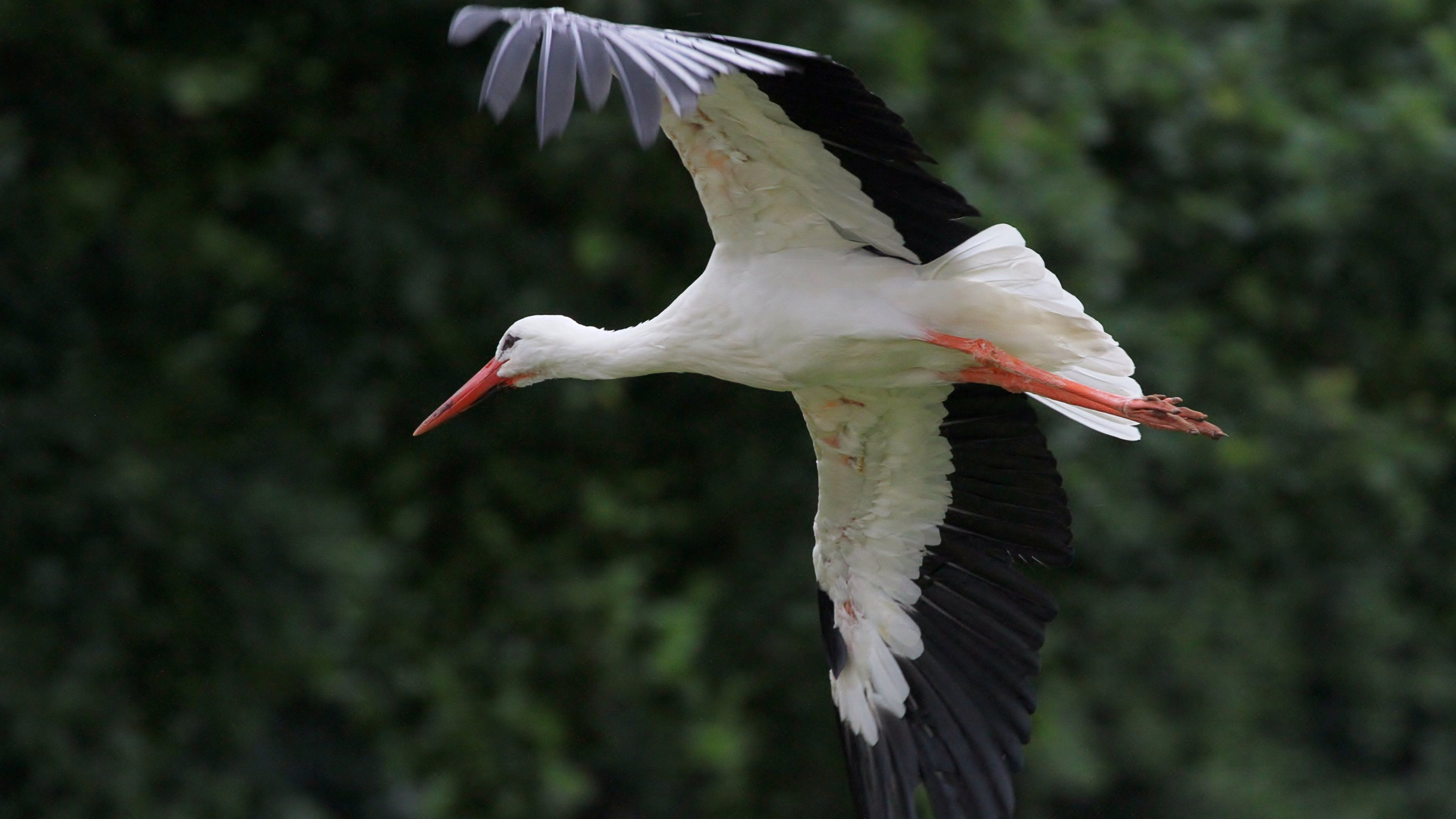 Free White Stork high quality wallpaper ID:9565 for ultra hd 4k computer