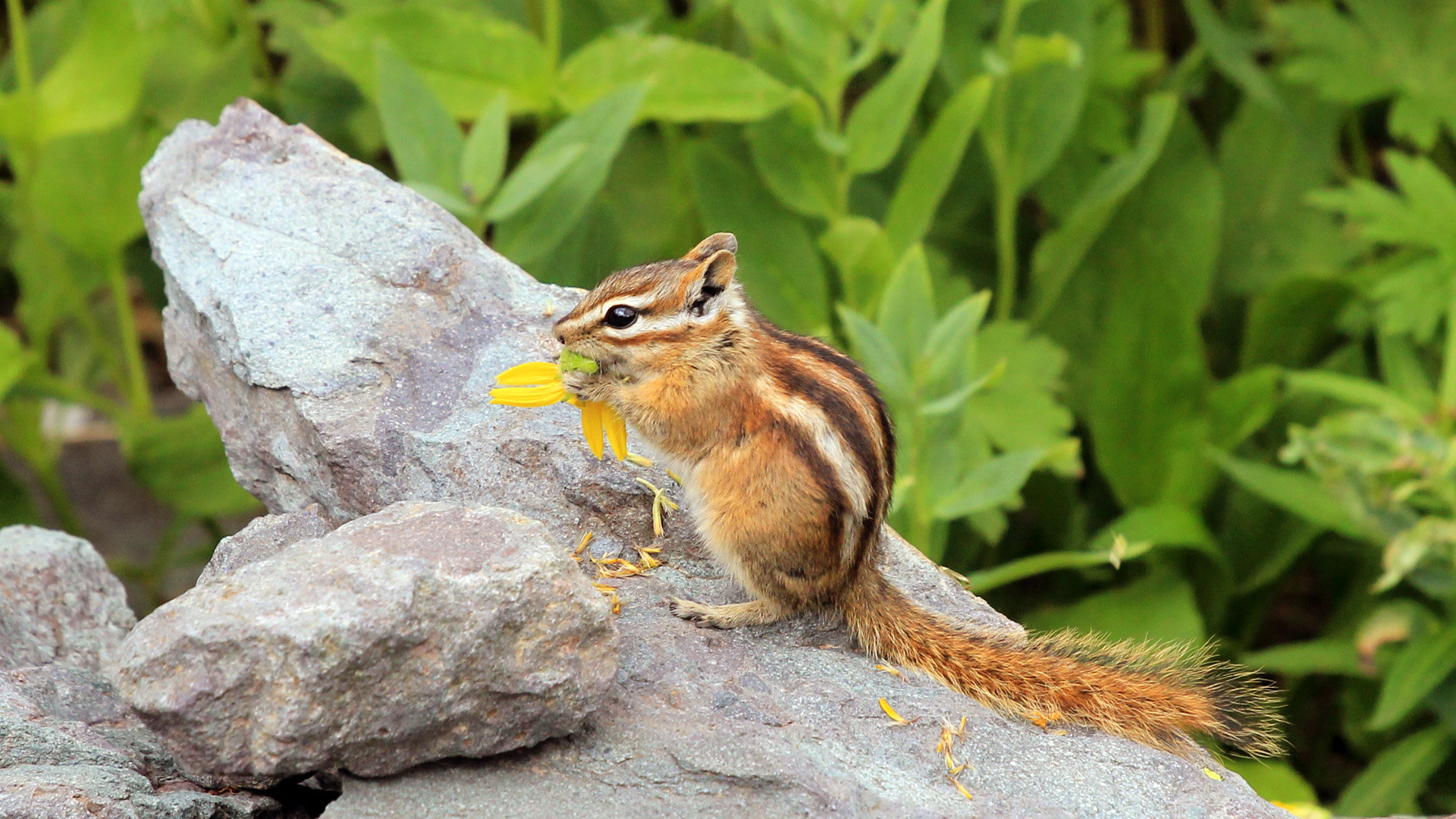 Awesome Chipmunk free wallpaper ID:323084 for hd 1080p desktop