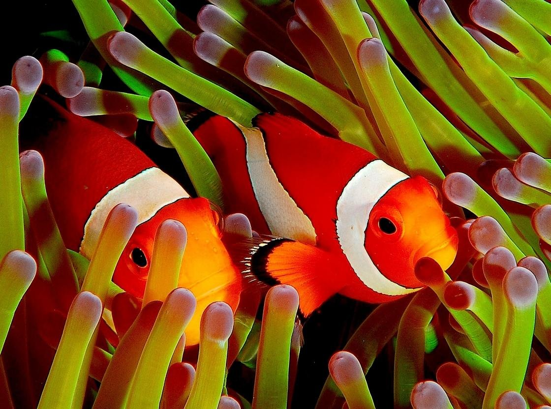 Free Clownfish high quality background ID:53236 for hd 1120x832 PC