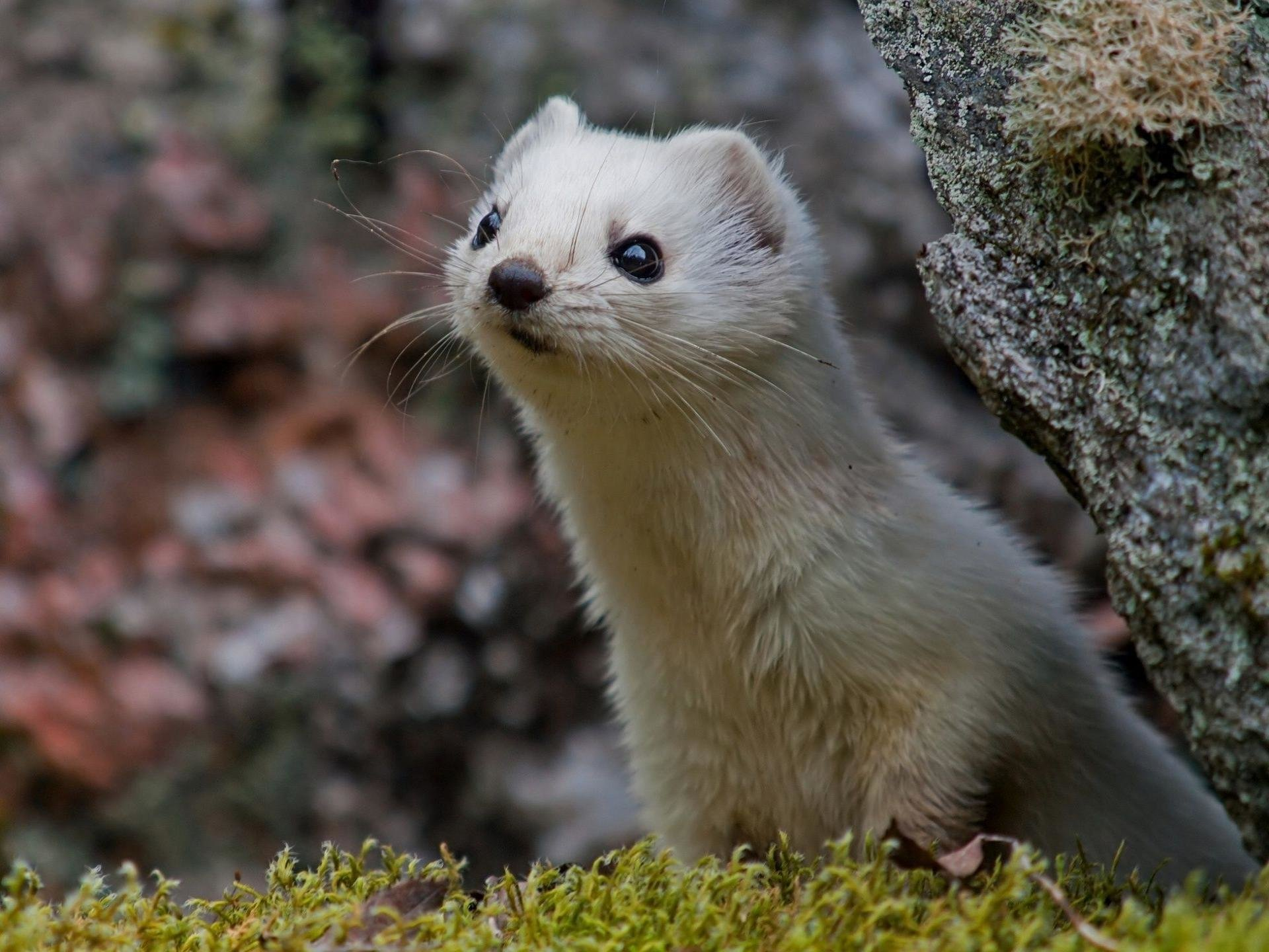 Awesome Ferret free wallpaper ID:165801 for hd 1920x1440 desktop