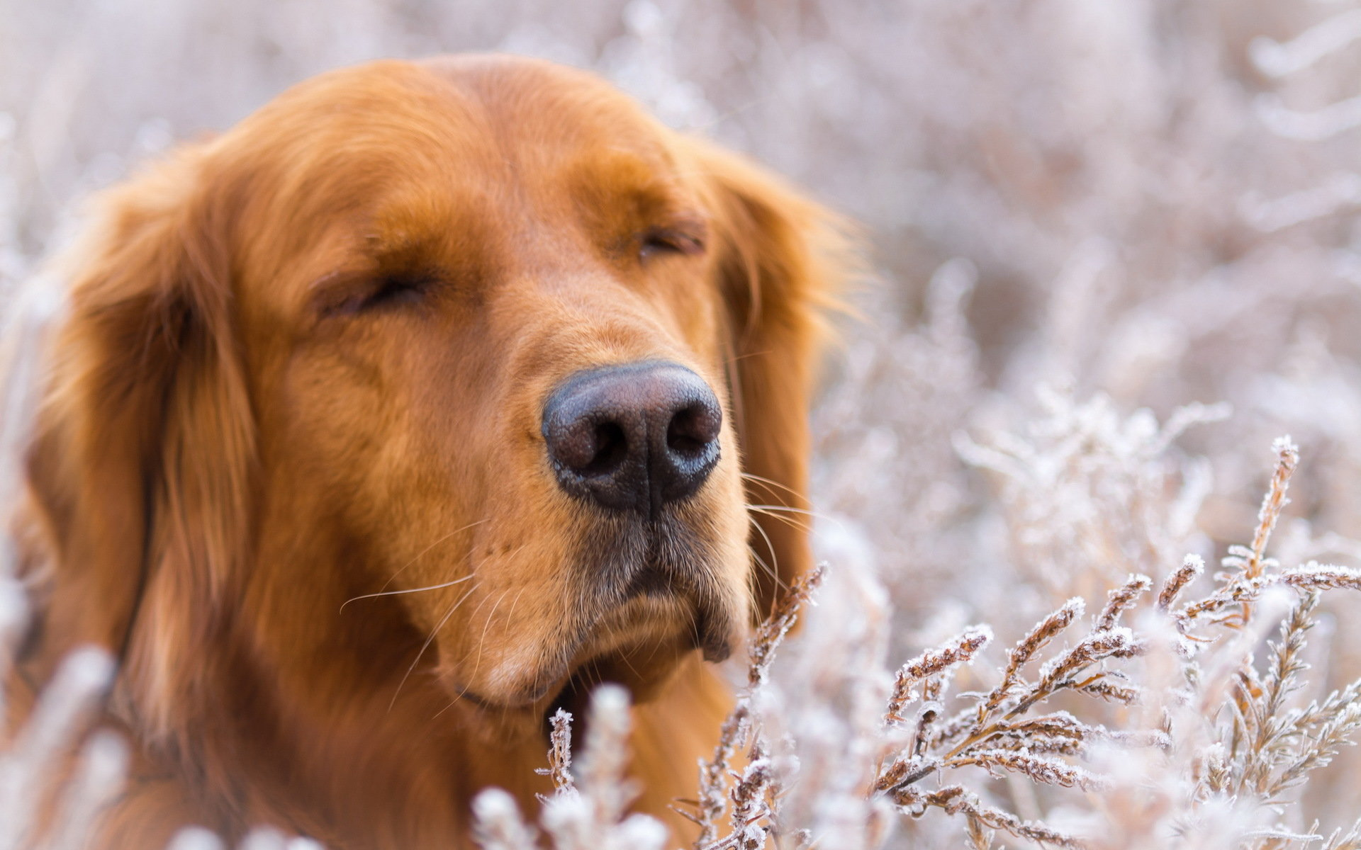 Free Golden Retriever high quality wallpaper ID:211890 for hd 1920x1200 PC