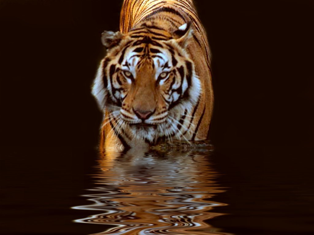 Download hd 1024x768 Tiger PC wallpaper ID:115598 for free