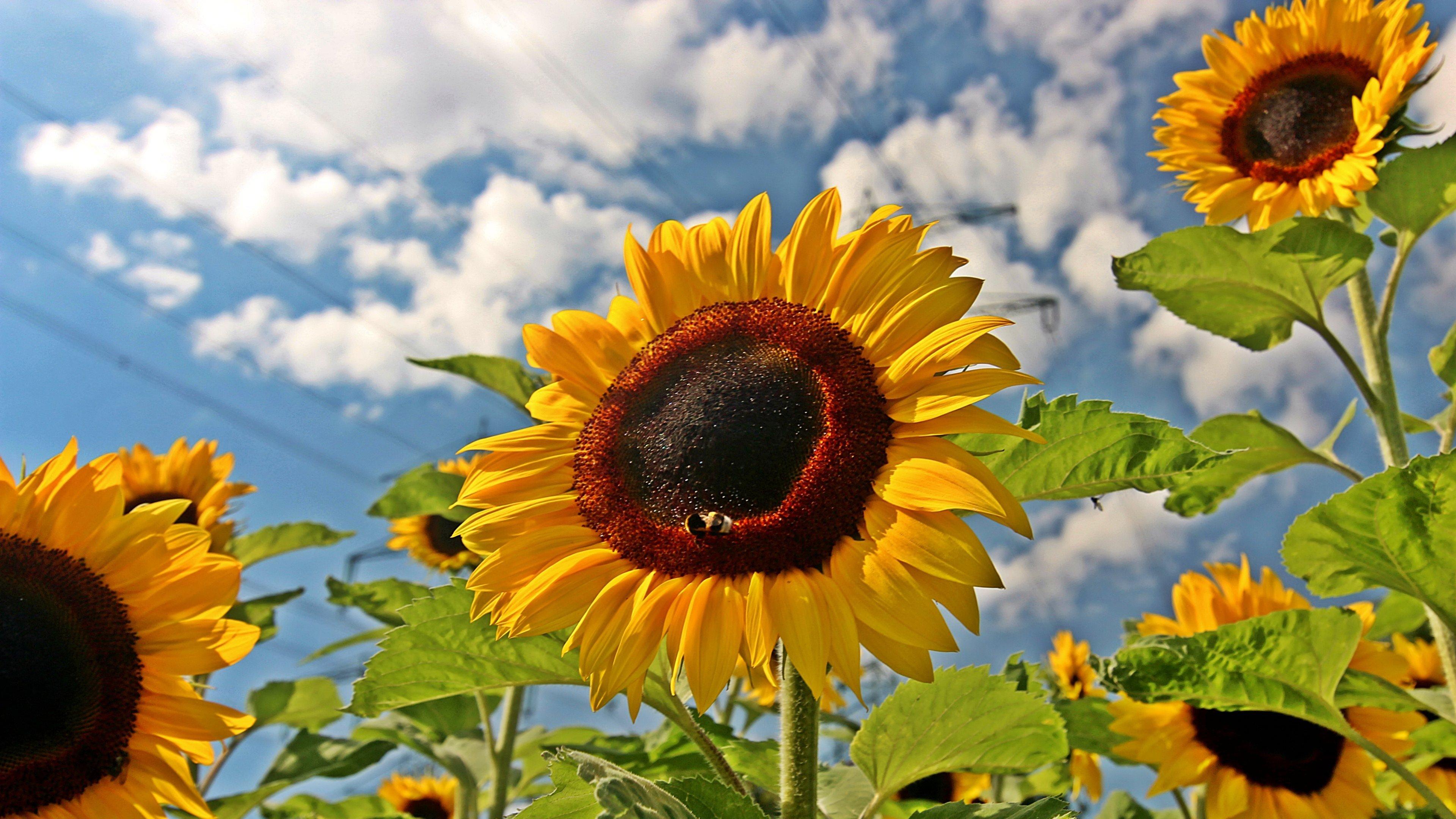 Sunflower wallpapers HD for desktop backgrounds