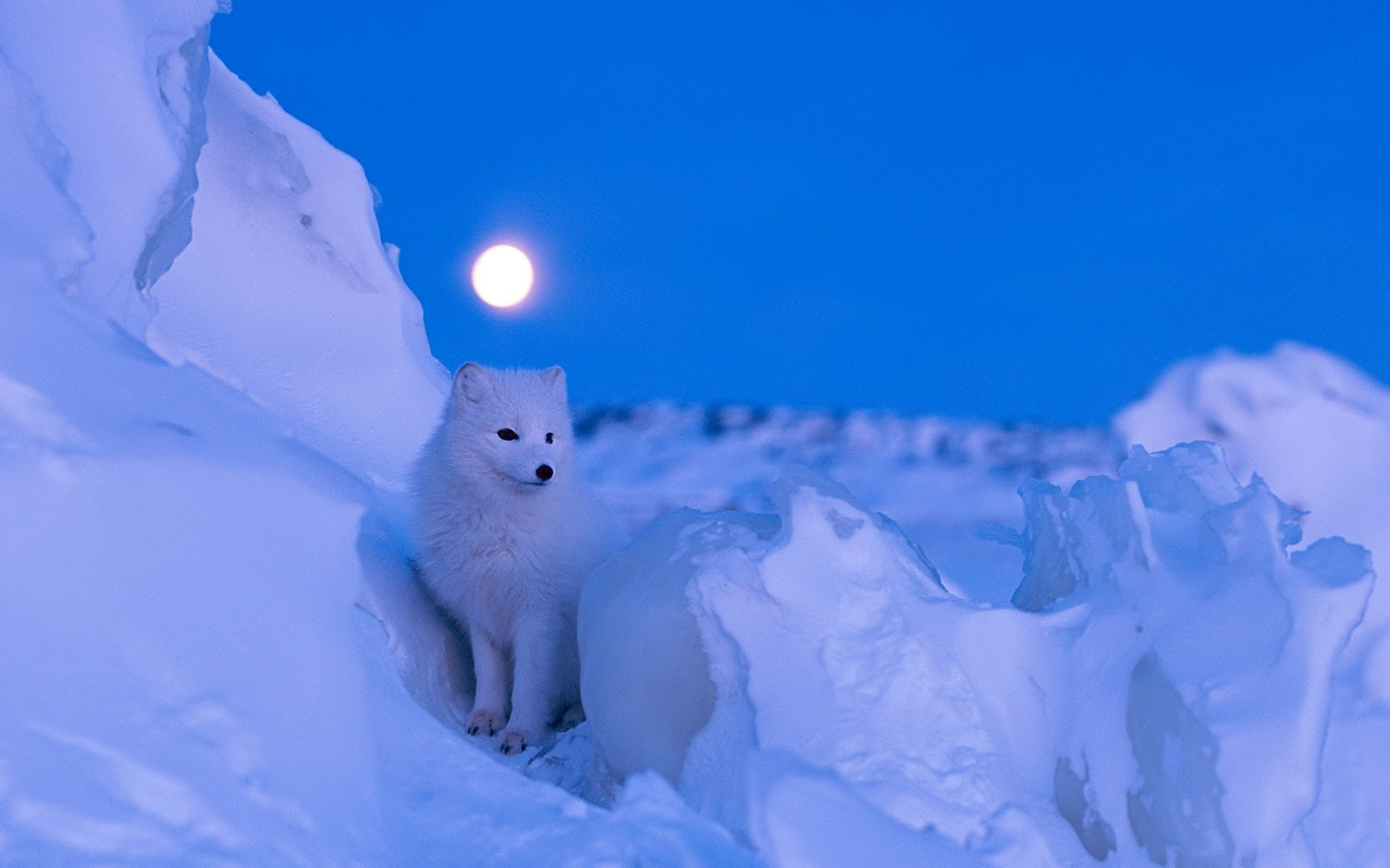 Awesome Arctic Fox free wallpaper ID:98725 for hd 1920x1200 computer