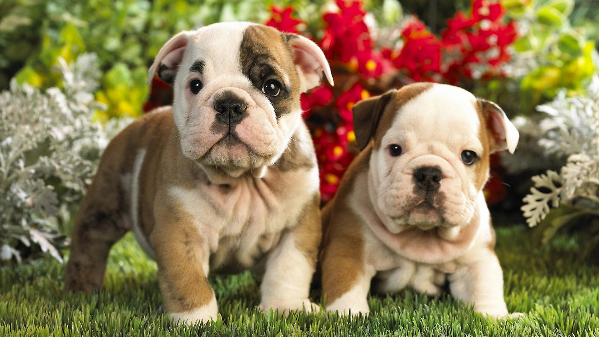 Free download English Bulldog wallpaper ID:397901 1080p for desktop